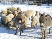 Winter Sheep Donkeys Snow