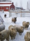 Sheep Barn Snow