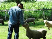 Feeding the Sheep Hobby Farm Dreams